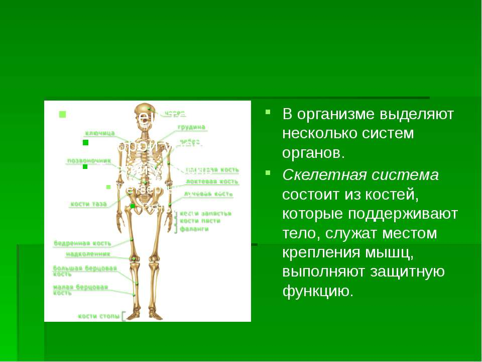 В организме выделяют несколько систем органов. Скелетная система состоит из к...