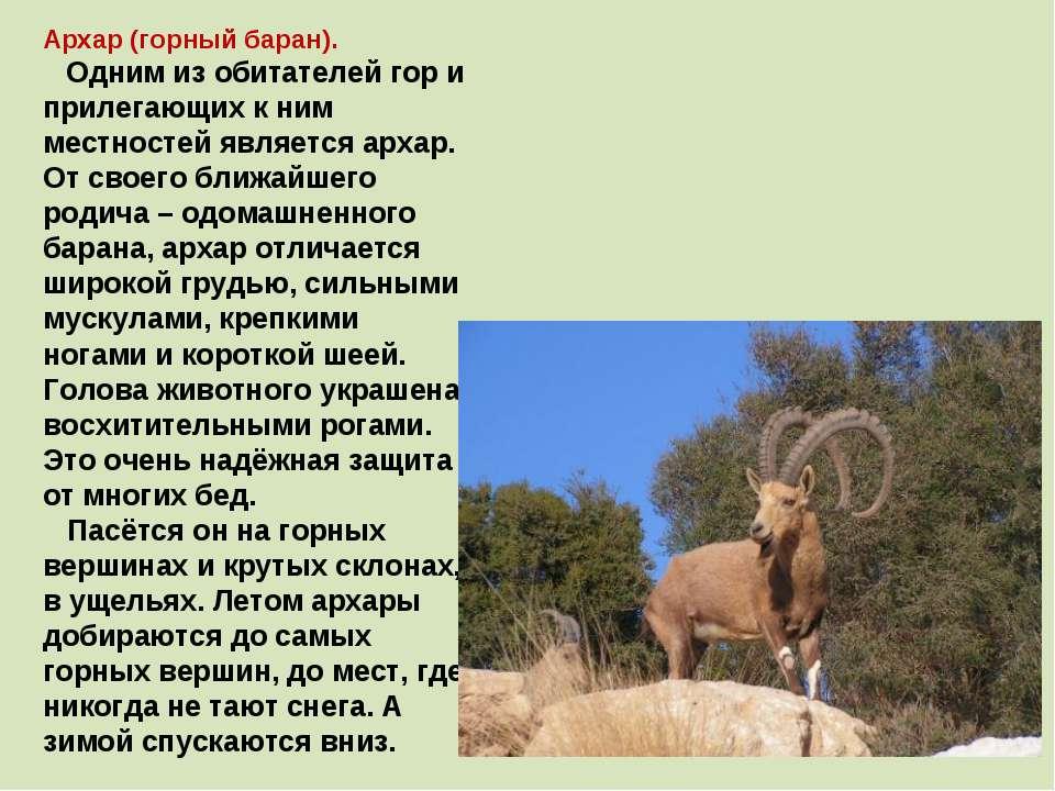 Архар (горный баран). Одним из обитателей гор и прилегающих к ним местностей ...