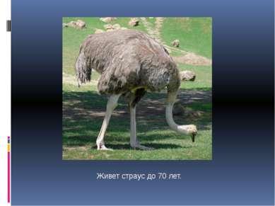 Живет страус до 70 лет.