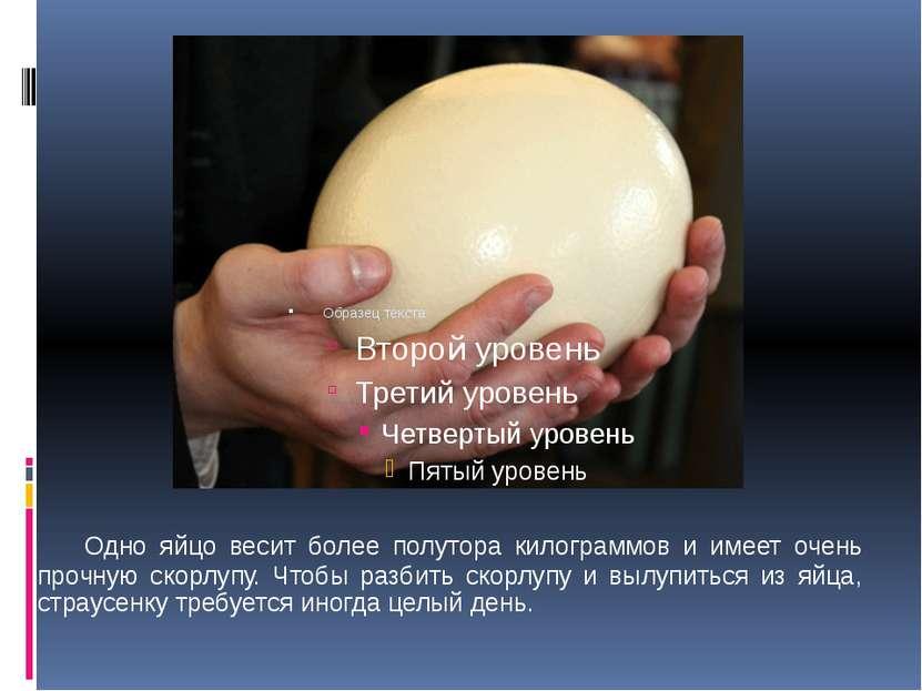 Одно яйцо весит более полутора килограммов и имеет очень прочную скорлупу. Чт...