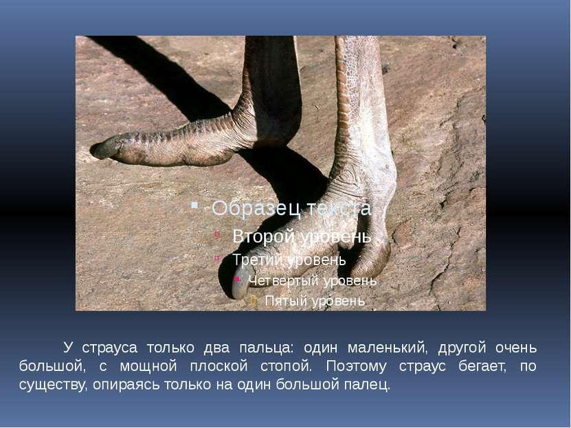 У страуса только два пальца: один маленький, другой очень большой, с мощной п...