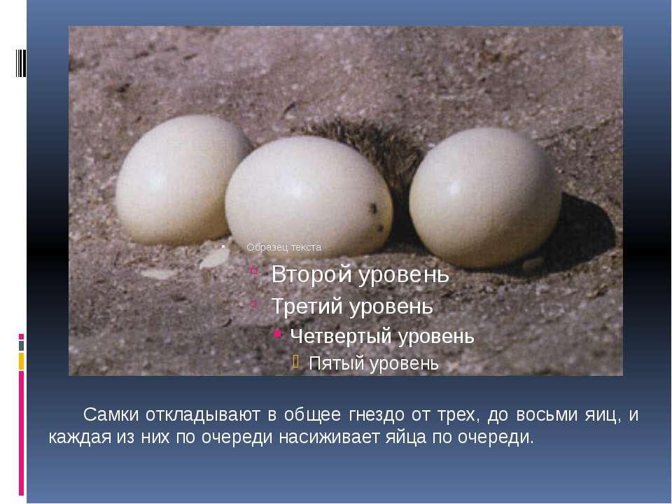 Самки откладывают в общее гнездо от трех, до восьми яиц, и каждая из них по о...