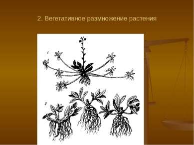 2. Вегетативное размножение растения