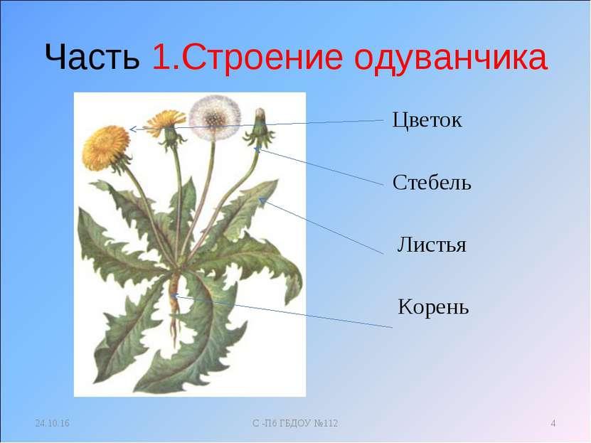 Часть 1.Строение одуванчика Цветок Стебель Листья Корень * С -Пб ГБДОУ №112 *...