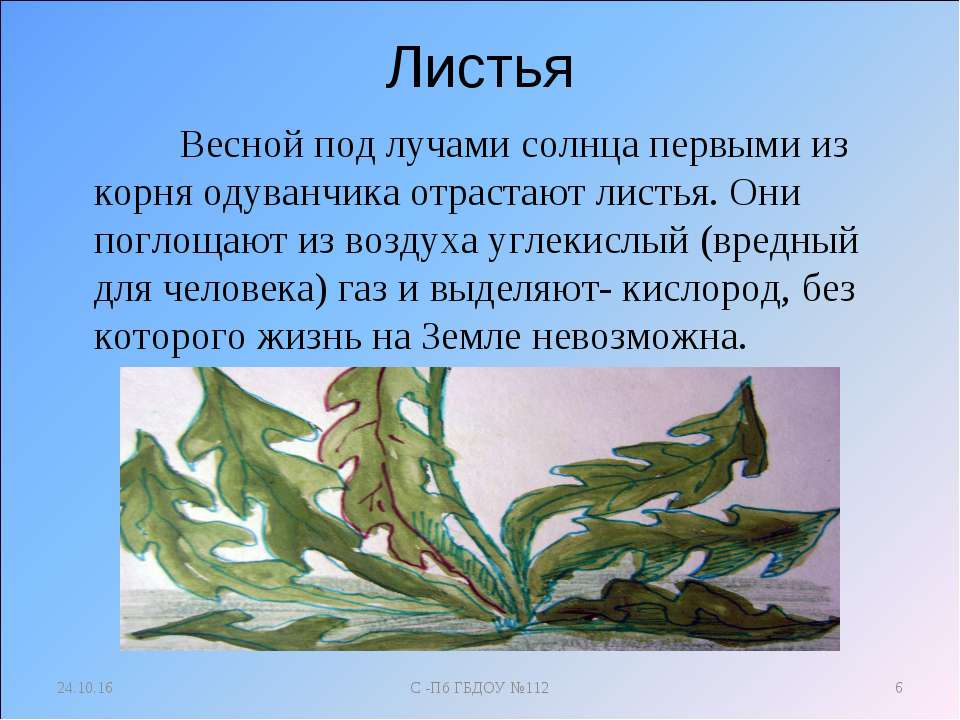Листья Весной под лучами солнца первыми из корня одуванчика отрастают листья....
