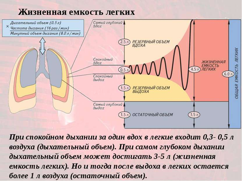 При спокойном дыхании за один вдох в легкие входит 0,3- 0,5 л воздуха (дыхате...