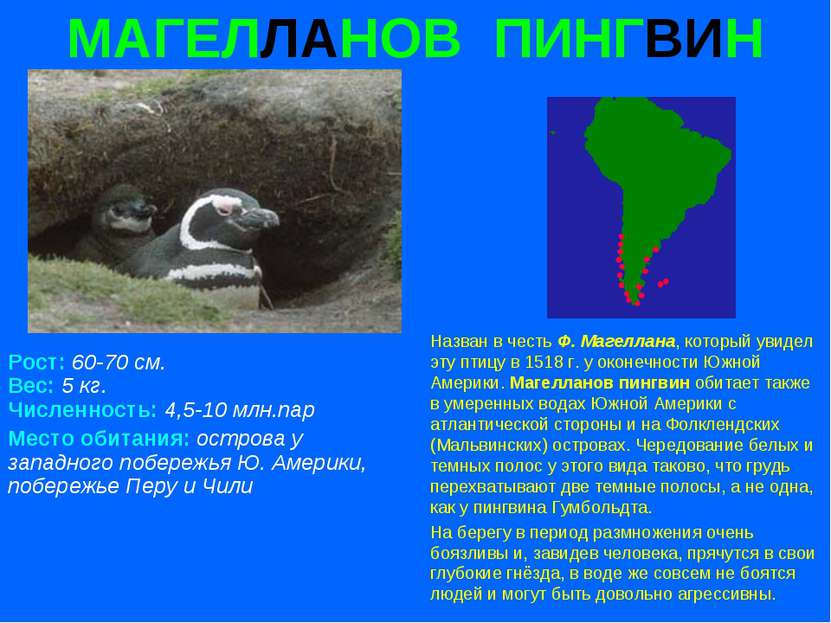 МАГЕЛЛАНОВ ПИНГВИН Рост: 60-70 см. Вес: 5 кг. Численность: 4,5-10 млн.пар Мес...