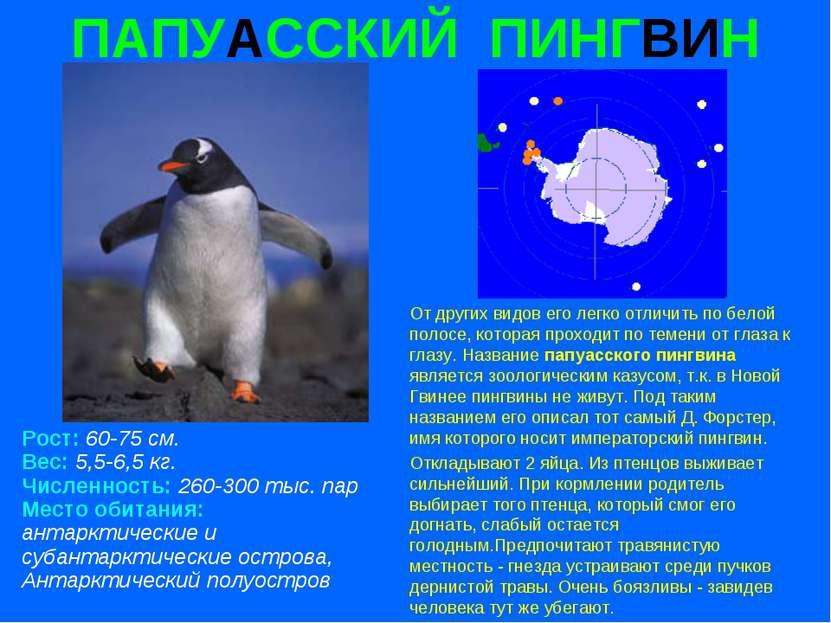 ПАПУАССКИЙ ПИНГВИН Рост: 60-75 см. Вес: 5,5-6,5 кг. Численность: 260-300 тыс....
