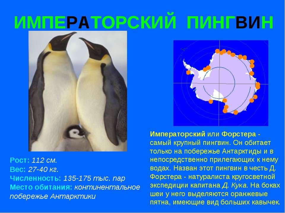 ИМПЕРАТОРСКИЙ ПИНГВИН Рост: 112 см. Вес: 27-40 кг. Численность: 135-175 тыс. ...