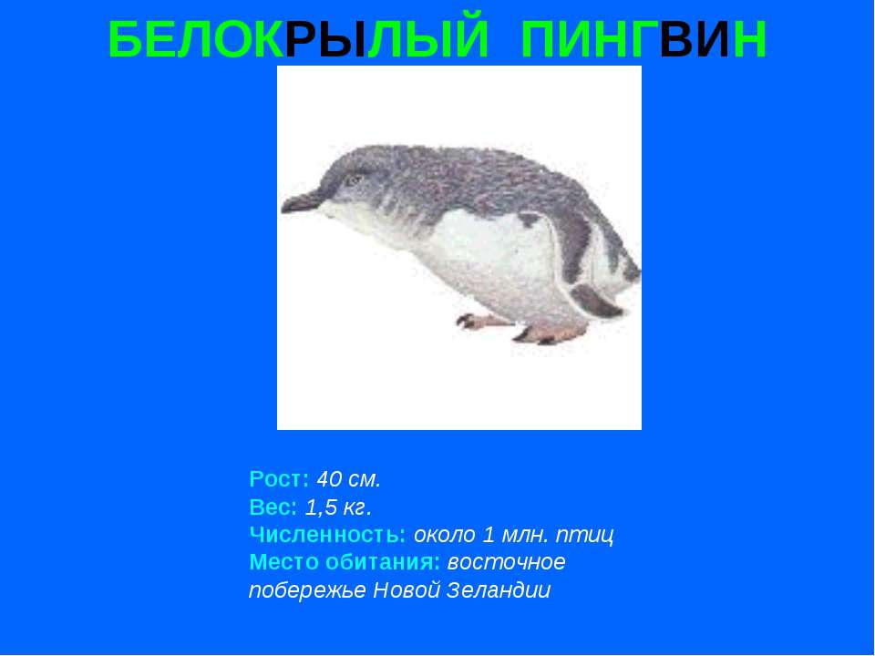 БЕЛОКРЫЛЫЙ ПИНГВИН Рост: 40 см. Вес: 1,5 кг. Численность: около 1 млн. птиц М...