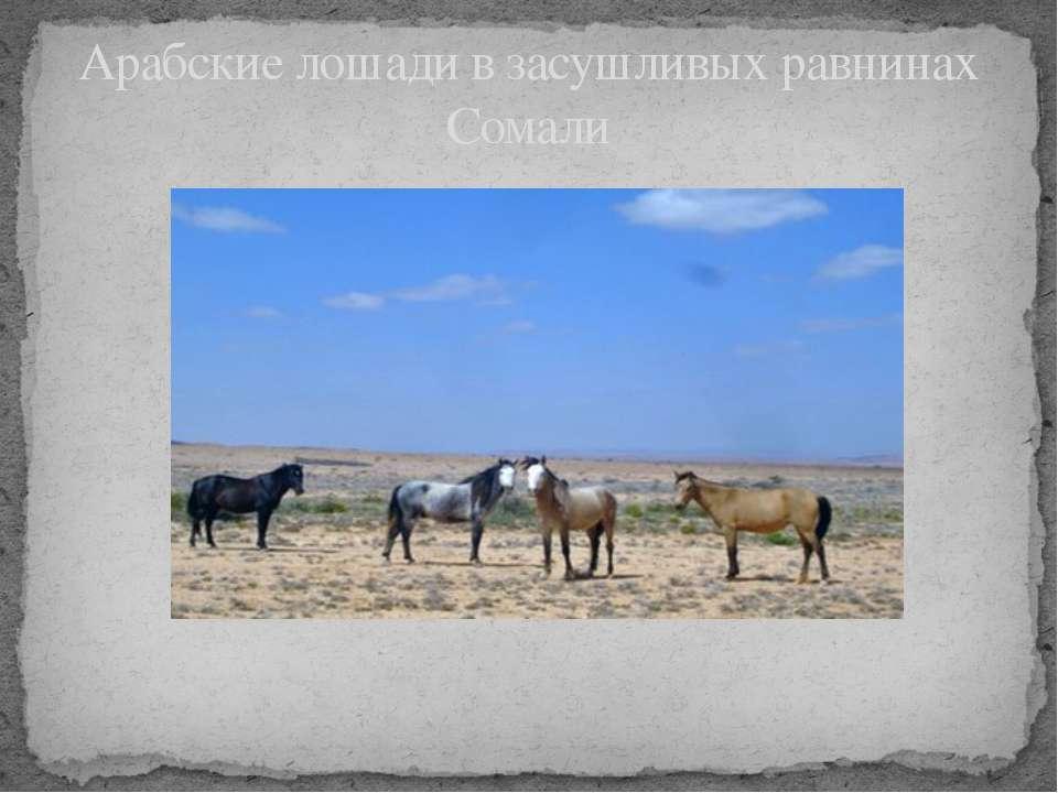 Арабские лошади в засушливых равнинах Сомали