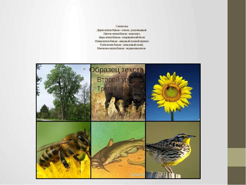 Символы Дерево штата Канзас – тополь дельтовидный Цветок штата Канзас - подсо...