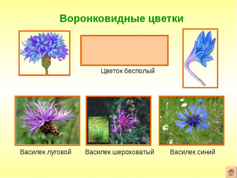 Воронковидные цветки Формула цветка: ^или*Ч0Л(5)Т0П0 Цветок бесполый Василек ...