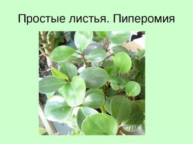 Простые листья. Пиперомия