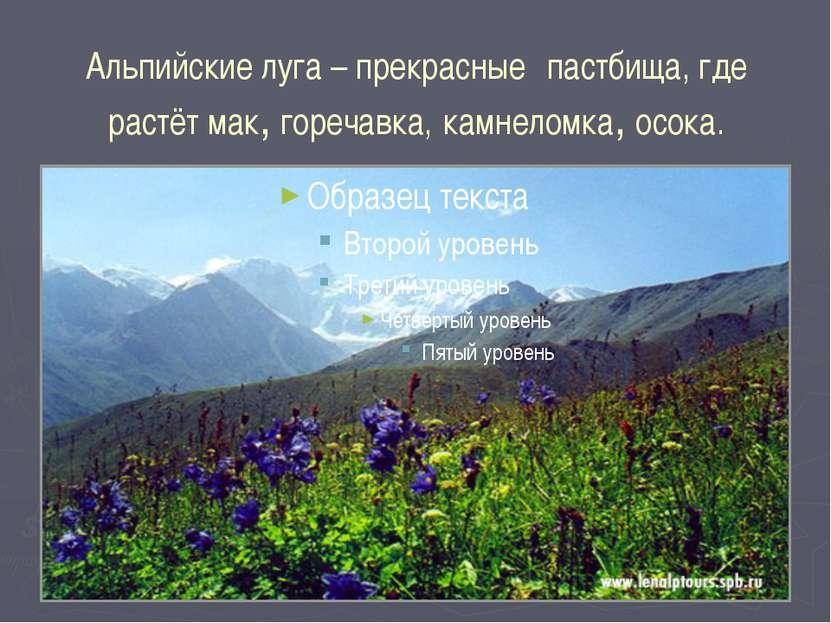 Альпийские луга – прекрасные пастбища, где растёт мак, горечавка, камнеломка,...