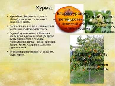 Хурма. Хурма (лат. diaspyros – сердечное яблоко) – мясистая сладкая ягода ора...