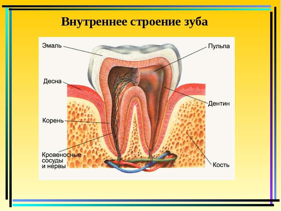 Внутреннее строение зуба