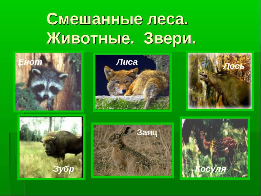 Смешанные леса. Животные. Звери. Енот Лиса Лось Зубр Косуля Заяц