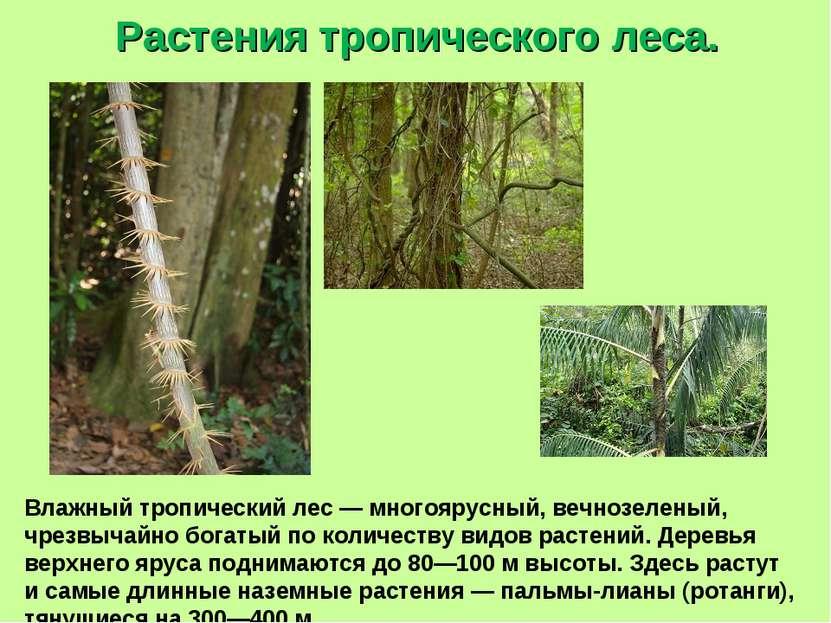 Растения тропического леса. Влажный тропический лес — многоярусный, вечнозеле...