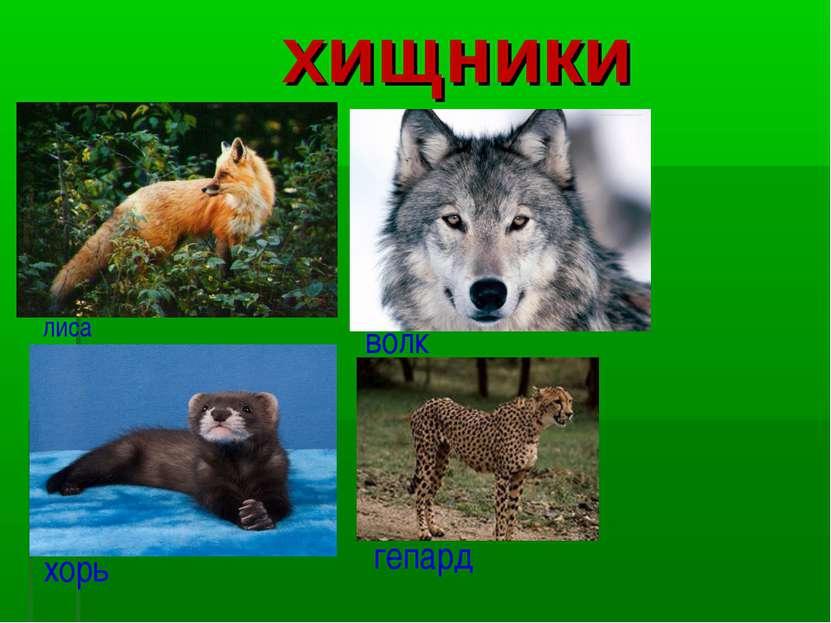 хищники лиса волк хорь гепард