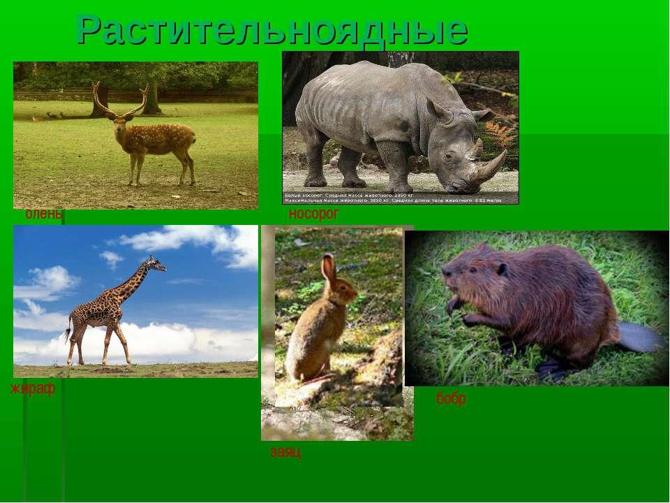 Растительноядные олень носорог жираф заяц бобр