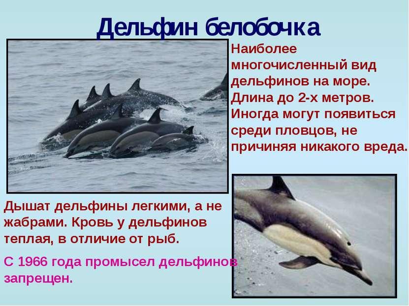 Дельфин белобочка Наиболее многочисленный вид дельфинов на море. Длина до 2-х...