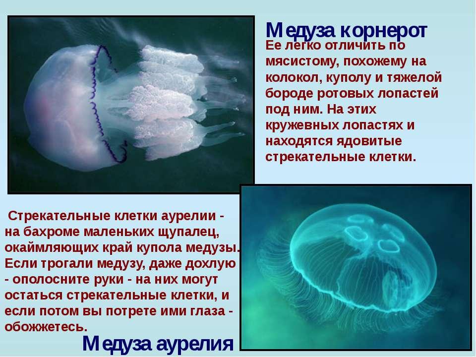 Медуза корнерот Ее легко отличить по мясистому, похожему на колокол, куполу и...