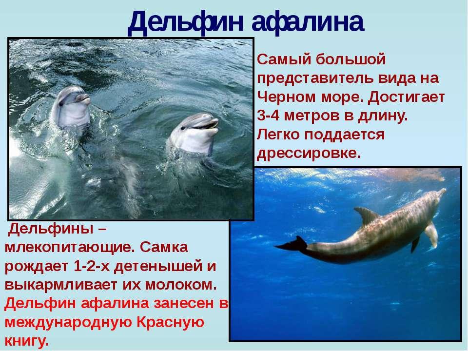 Дельфин афалина Самый большой представитель вида на Черном море. Достигает 3-...