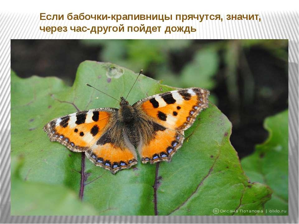 Если бабочки-крапивницы прячутся, значит, через час-другой пойдет дождь