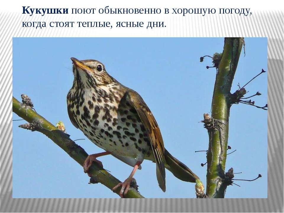 Кукушки поют обыкновенно в хорошую погоду, когда стоят теплые, ясные дни.