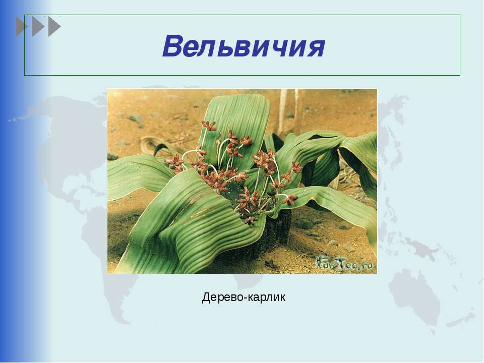 Вельвичия Дерево-карлик