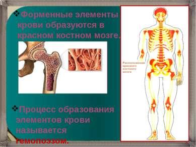 Форменные элементы крови образуются в красном костном мозге. Процесс образова...