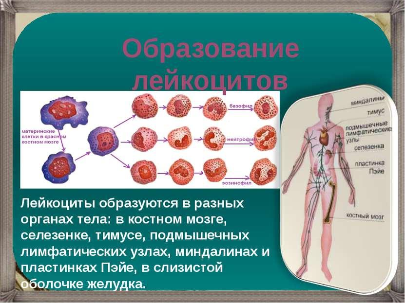 Образование лейкоцитов Лейкоциты образуются в разных органах тела: в костном ...
