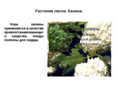 Растения лесов. Калина Кора калины применяется в качестве кровоостанавливающе...