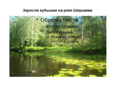 Заросли кубышки на реке Ширшима