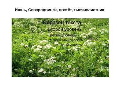 Июнь, Северодвинск, цветёт, тысячелистник