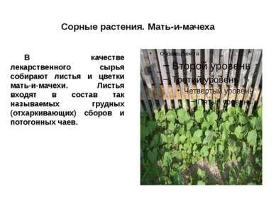 Сорные растения. Мать-и-мачеха В качестве лекарственного сырья собирают листь...