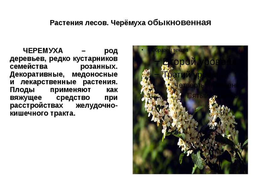 Растения лесов. Черёмуха обыкновенная ЧЕРЕМУХА – род деревьев, редко кустарни...