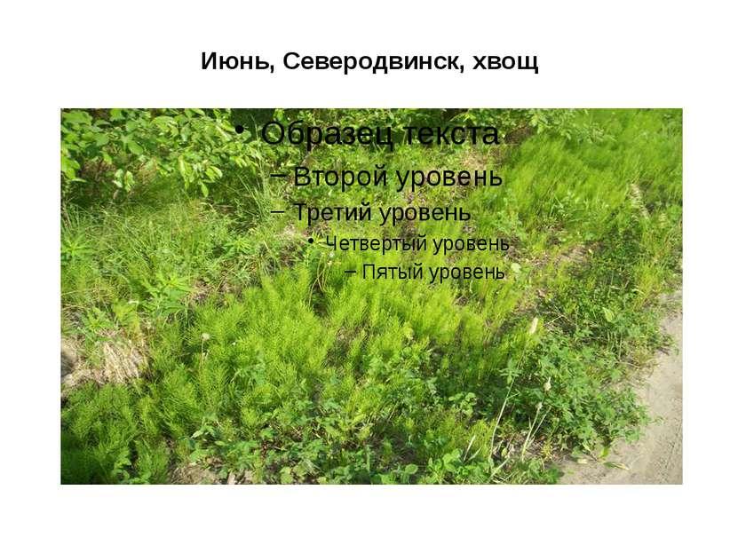 Июнь, Северодвинск, хвощ
