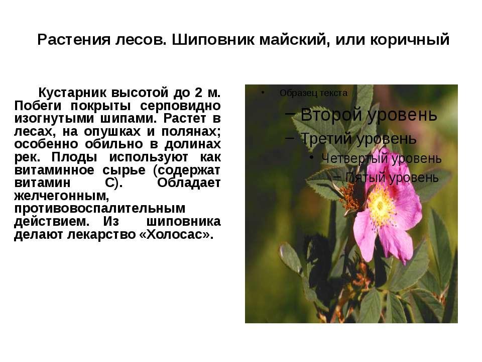 Растения лесов. Шиповник майский, или коричный Кустарник высотой до 2 м. Побе...