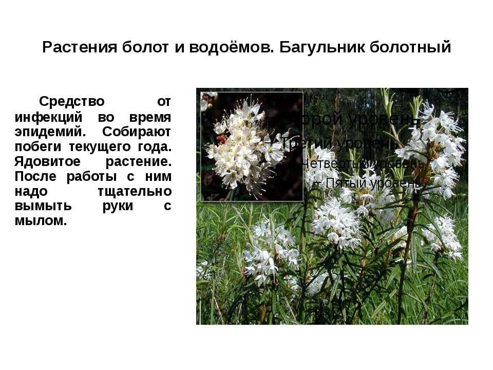 Растения болот и водоёмов. Багульник болотный Средство от инфекций во время э...
