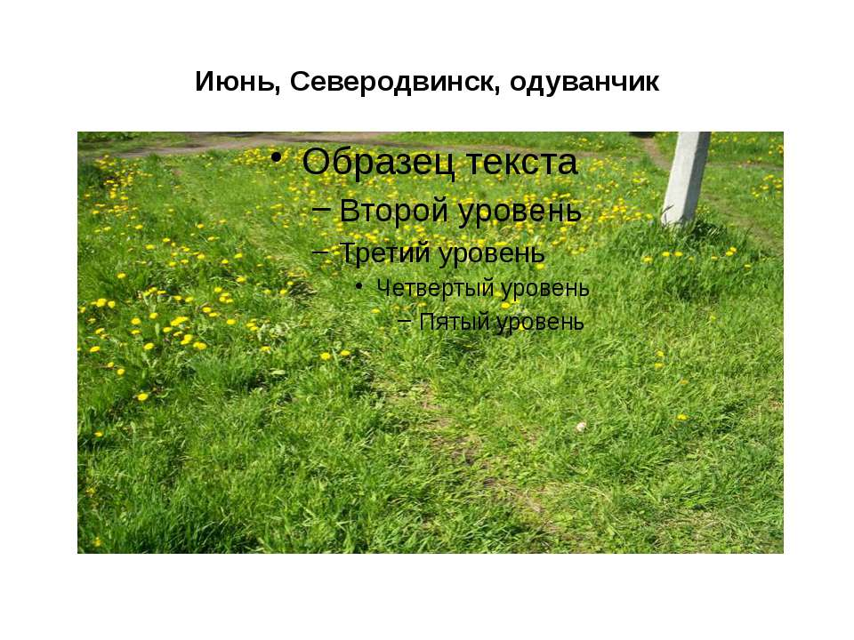 Июнь, Северодвинск, одуванчик