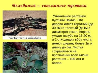 Вельвичия – «осьминог» пустыни Уникальное растение пустыни Намиб. Это дерево ...
