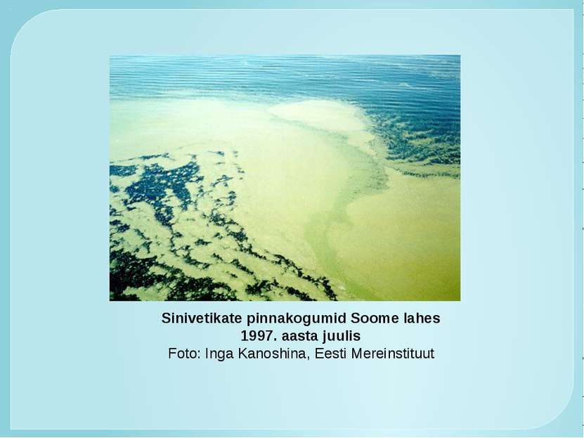Sinivetikate pinnakogumid Soome lahes 1997. aasta juulis Foto: Inga Kanoshina...