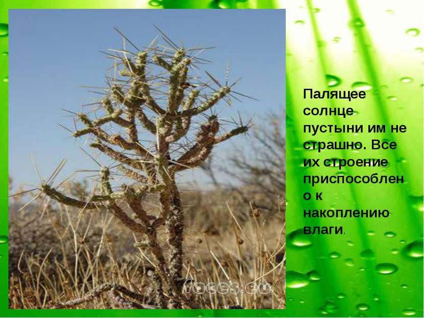 Палящее солнце пустыни им не страшно. Все их строение приспособлено к накопле...