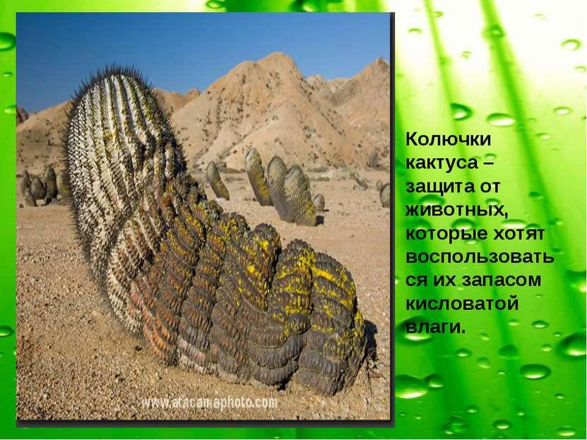 Колючки кактуса – защита от животных, которые хотят воспользоваться их запасо...