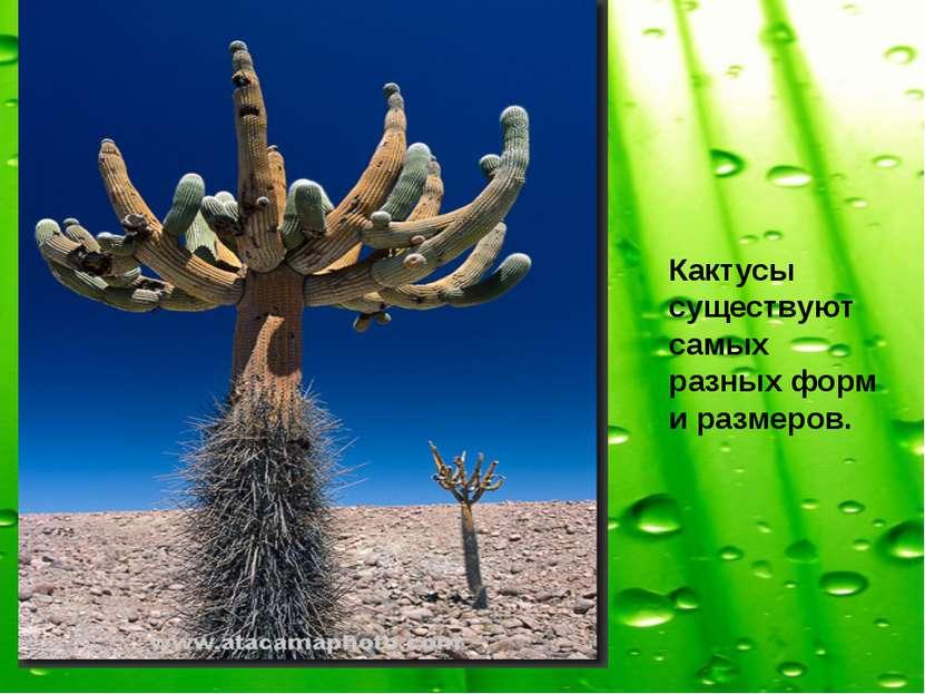 Кактусы существуют самых разных форм и размеров.