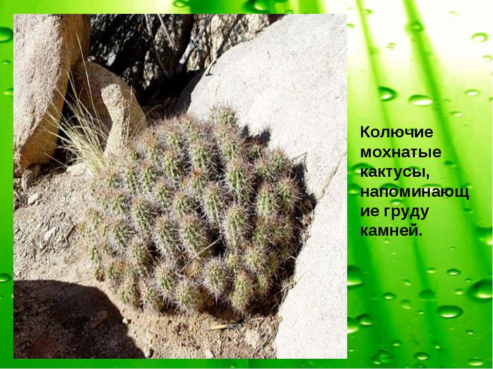 Колючие мохнатые кактусы, напоминающие груду камней.