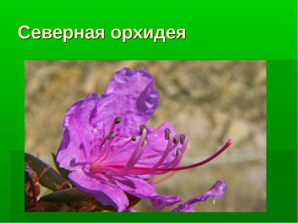 Cеверная орхидея