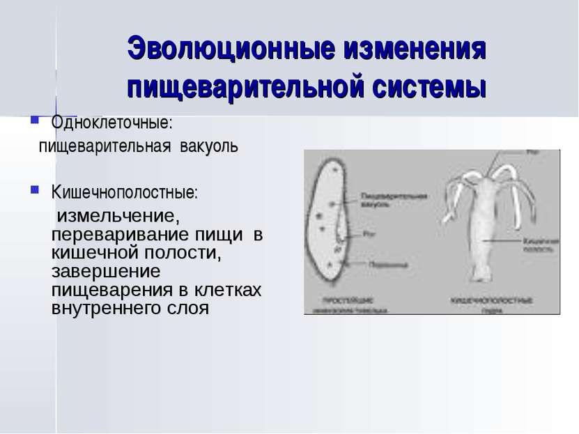 Эволюционные изменения пищеварительной системы Одноклеточные: пищеварительная...